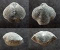 Brachiopode Athyris tumida (KAYSER, 1871)
