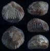 Brachiopode Cupularostrum (?) hexatoma soetenica SCHMIDT, 1975