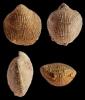 Brachiopode Spinatrypa soetenica (STRUVE, 1964)