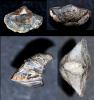 Brachiopode Kosirium steinmanni (SCHULZ 1914)