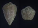 Blastoidea Heteroschisma alternatum (LYON, 1857)