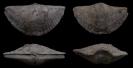 Brachiopode Mucrospirifer profundus (GRABAU, 1910)