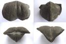 Brachiopode Paraspirifer bownockeri STEWARD