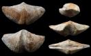 Brachiopode Cyrtospirifer verneuilli (MURCHINSON, 1840)