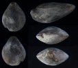 Brachiopode Cranaena rigauxi BRICE 1988