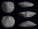 Brachiopode Eoschuchertella elegans (RIGAUX, 1872)