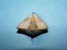 Cyrtospirifer aperturatus