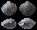 Brachiopode Pachyplaxoides postgyralea GRUNT & RACKI, 1998