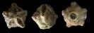 Crinoide Haplocrinites sp.