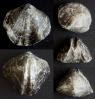 Brachiopode Tomestenoporhynchus rudkini (LIACHENKO 1959)