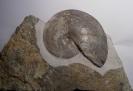 Beloceras tenuistriatum