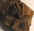 Arduspirifer arduennensis