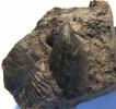 Cornellites fasciculatus