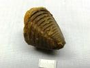 Digonus ornatus ornatus (Koch 1883)