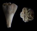 Blastoidea Pentremitidea pailletti (VERNEUIL, 1844)