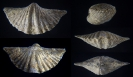 Brachiopode Mucrospirifer mucronatus (CONRAD 1841)