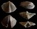 Brachiopode Tenuicostella cf. tenuicosta (SCUPIN 1900)