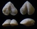 Brachiopode Dicoelosia varica CONRAD, 1842