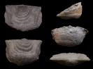 Brachiopode Leptaena acuticuspidata AMSDEN, 1958