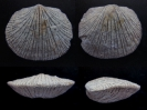 Brachiopode Orthostrophia strophomenoides (HALL)