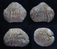 Brachiopode Sphaerirhynchia lindenensis DUNBAR, 1919