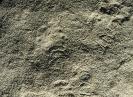 Palaeopascichnus delicatus Palij, 1976