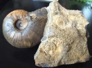 12 - Fossil des Monats Dezember 2005