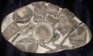 07 - Fossil des Monats Juli 2007