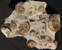 03 - Fossil des Monats März 2007