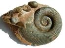 08 - Fossil des Monats August 2008