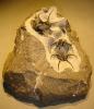 10 - Fossil des Monats Oktober 2009