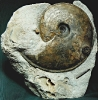 10 - Fossil des Monats Oktober 2011