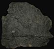 11 - Fossil des Monats November 2011