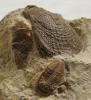 02 - Fossil des Monats Februar 2012