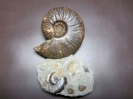03 - Fossil des Monats März 2014