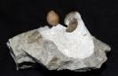 08 - Fossil des Monats August 2016