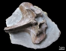 Fossil des Monats
