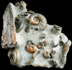 07 - Fossil des Monats Juli 2019