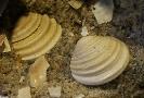 Nicaniella (Nicaniella) cf. multiformis (ROEDER,