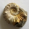 Kosmoceras aculeatum EICHWALD 1830