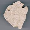 Thamnasteria sp. mit Gastrochaenolites isp.