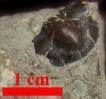 Ellipsocephalus polytomus (LINNARSSON 1877)