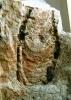 Diplocraterion helmerseni