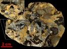 Ellipsocephalus cf. polytomus