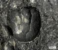 Triplagnostus elegans