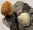 Cardiaster granulosus (GOLDFUSS 1816)