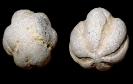 Caryospongia diadema (KLÖDEN, 1834)