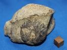 Astylospongia praemorsa und Aulocopella sp.