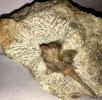 Hoplolochas triscuspidata, Kopfschild