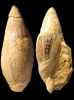Ancilla (Baryspira) obsoleta (BROCCHI 1814)